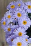 Espaço de madeira rústico da cópia do fundo do ramalhete de Violet Purple Daisy Chrysanthemum Chamomile fotografia de stock