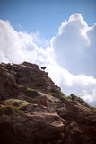 España, Balearic Island, Menorca, playa Pilar de Cala, cabras (Capra Imagenes de archivo