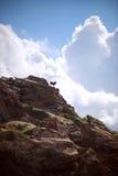 España, Balearic Island, Menorca, playa Pilar de Cala, cabras (Capra Imagen de archivo