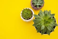Espa?o de trabalho denominado Plantas suculentos da flor de Echeveria no fundo amarelo Copie o espa?o Configura??o lisa, vista su imagens de stock royalty free