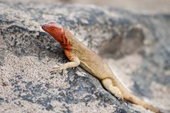 Española lava lizard, female Stock Photo