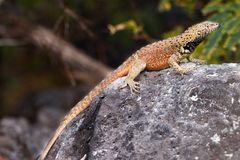 Española lava lizard, male Stock Photo