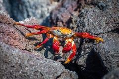 Espace de croisement de crabe de Sally Lightfoot entre les roches Image libre de droits