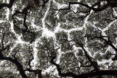 Espacement de phénomène ou d'auvent de timidité de couronne et dégagement de couronne d'arbre qui évitent de se toucher photo stock