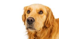 Espacio blanco de la copia del perro del golden retriever del primer Imagen de archivo