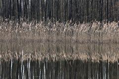 Espadaña amarilla hermosa que crece en un lago en un día soleado en spr Imagen de archivo