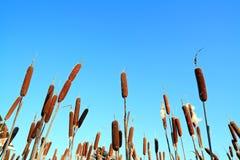 Espadaña del pantano Imagenes de archivo