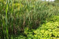 Espadaña Plantas de pantano Fotografía de archivo libre de regalías