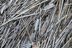Espadaña seca Foto de archivo libre de regalías