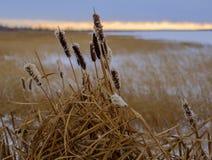 Espadañas en invierno en una orilla del lago Foto de archivo