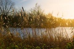 Espadañas y cañas por el lago Imagen de archivo