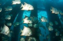Espadons atlantiques Images stock