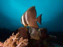 Espadons curieux et beaux de longfin en Raja Ampat, Indonésie Photo libre de droits