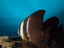 Espadons curieux et beaux de longfin en Raja Ampat, Indonésie Photo stock
