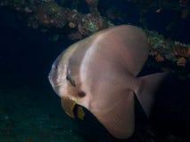 Espadons de Longfin Photos libres de droits