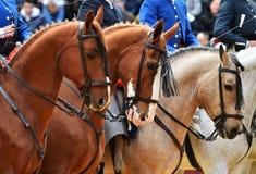 Espagnol de cheval dans le spectacle Photographie stock