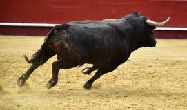 Espagnol de Taureau dans le spectacle Photographie stock