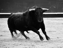 Espagnol de Taureau dans le spectacle Photo stock