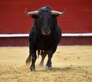 Espagnol de Taureau dans le spectacle Photos stock