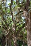 Espagnol Moss Draped Oaks dans la savane Image libre de droits