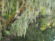 Espagnol Moss Draped Trees sur la banque du courant du sud Image libre de droits