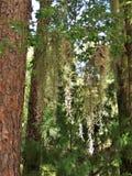 Espagnol Moss Hanging de Live Oak Trees Photos libres de droits
