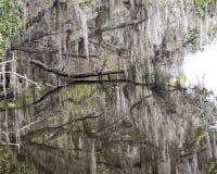 Espagnol Moss Hanging de Live Oak Trees Images stock