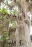 Espagnol Moss Hanging des arbres du sud Images libres de droits