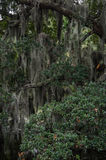 Espagnol Moss Thick sur Live Oak Tree Photos stock