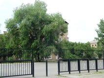 espalhar uma árvore bonita cresce perto da casa imagens de stock