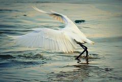 Espalhar voa a pesca branca do pássaro no mar imagens de stock royalty free