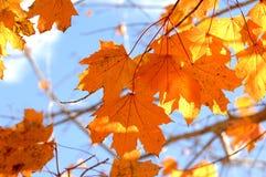 Espalhe do bordo alaranjado Autumn Leaves no ramo de árvore imagem de stock royalty free