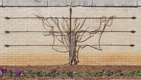 Espalier藤在没有叶子的冬天训练增长在有金属格子的砖墙上与蝴蝶花在花床上在前面 免版税图库摄影