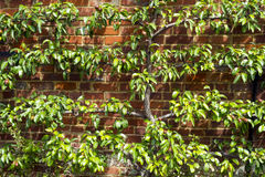 Espalier trained pear tree with young fruit Royalty Free Stock Photos