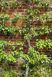 Espalier trained pear tree with young fruit Stock Photography