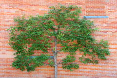 Espalier tree and red brick wall royalty free stock image