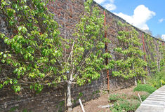 Espalier trees Stock Photography
