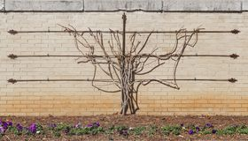 Espalier vine in winter with no leaves trained to grow on brick wall with metal trellis with pansies in flower bed in front