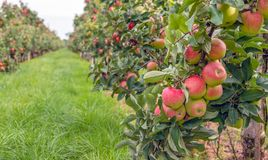 Ripe red apples ready to be picked in an apple orchard. Espaliered fruit trees with harvest ripe red apples in a Dutch apple orchard at the end of the summer royalty free stock photography