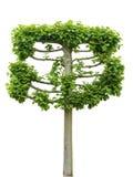 Espaliered Tilia drzewo (lipowy) zdjęcia stock