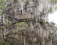 Espanhol Moss Hanging de Live Oak Trees Imagens de Stock
