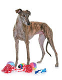 Espanol de Galgo dans le studio Photos stock