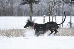 Espanol nero di Galgo che gioca durante l'inverno Immagini Stock