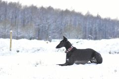 Espanol nero di Galgo che si trova nella neve Fotografie Stock Libere da Diritti