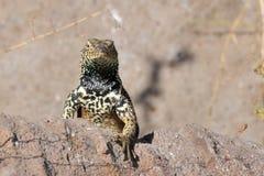 espanola在岩石凝视的熔岩蜥蜴 库存照片