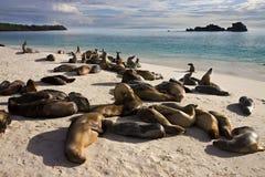 espanola Galapagos wysp lwy denni Fotografia Royalty Free