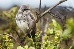 Espanola härmfågel Arkivfoton