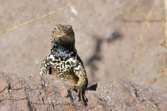 Espanola Lava Lizard Staring over a Rock Stock Photos