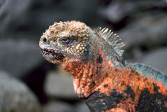 Espanola Marine Iguana in Galapagos Royalty Free Stock Photo