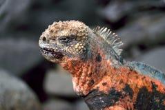 Espanola Marine Iguana in Galapagos royalty free stock photo